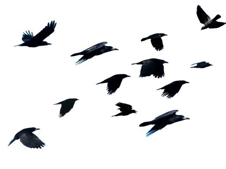 murder of crows dictionary